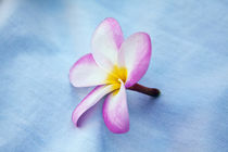 Plumeria flowers in bloom by Danita Delimont