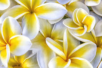 Plumeria in mass display by Danita Delimont