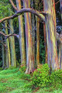 Rainbow Eucalytus Trees von Danita Delimont