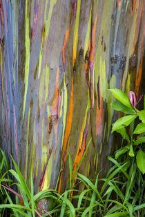 Rainbow Eucalytus Trees by Danita Delimont