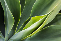 Agave Plant with fresh green leaves by Danita Delimont