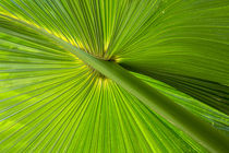 Hawaiian Fan Palm with Back lighting by Danita Delimont