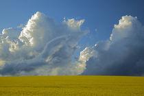 USA, Idaho, Idaho County, Canola field by Danita Delimont