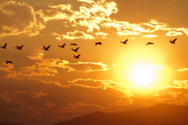 A flock of geese fly at sunrise in Boise, Idaho, USA. by Danita Delimont