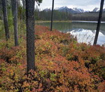 Autumn blueberries at Little Redfish Lake and Sawtooth Mount... by Danita Delimont
