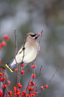 Cedar Waxwing eating Common Winterberry Marion Co by Danita Delimont