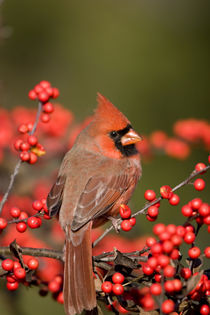 Northern Cardinal male on Common Winterberry bush Marion Co von Danita Delimont