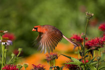 Northern Cardinal male in flight in flower garden, Marion Co von Danita Delimont