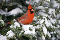 Northern Cardinal male in Balsam fir tree in winter, Marion Co von Danita Delimont