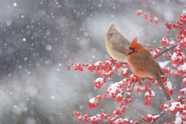 Northern Cardinals male and female in Common Winterberry bus... von Danita Delimont