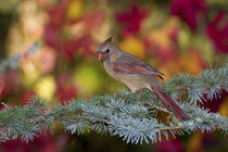 Northern Cardinal female in fall, Marion Co by Danita Delimont