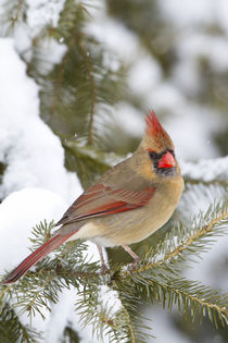 Northern Cardinal female in spruce tree in winter, Marion Co von Danita Delimont