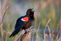 Red-winged Blackbird male singing, displaying in wetland Marion Co by Danita Delimont