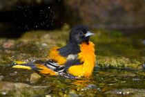 Baltimore Oriole male bathing, Marion Co by Danita Delimont