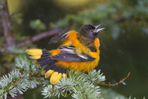 Baltimore Oriole male bathing in mist, Marion Co von Danita Delimont