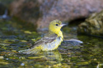 Orchard Oriole female bathing, Marion Co by Danita Delimont