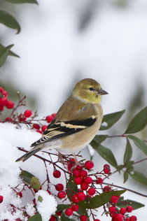 American Goldfinch in Heavenly Bamboo in winter, Marion Co by Danita Delimont