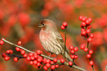 House Finch male on Common Winterberry Marion Co by Danita Delimont