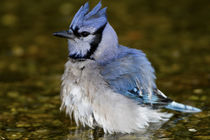 Blue Jay bathing, Marion Co by Danita Delimont
