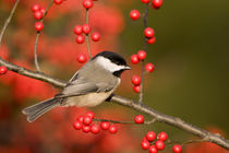 Carolina Chickadee on Common Winterberry bush, Marion Co by Danita Delimont