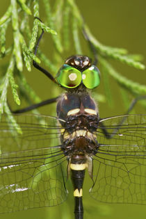 Swift River Cruiser Dragonfly male, Effingham Co by Danita Delimont