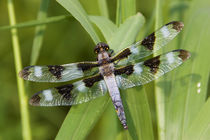 Twelve-spotted Skimmer male near wetland, Marion Co by Danita Delimont
