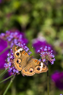 Common Buckeye on Brazilian Verbena Marion Co by Danita Delimont