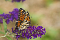 Viceroy butterfly on Butterfly Bush Marion Co von Danita Delimont