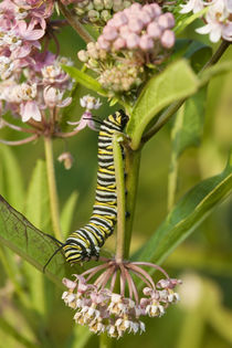 Monarch caterpillar on Swamp Milkweed Marion Co von Danita Delimont
