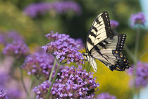 Eastern Tiger Swallowtail on Brazilian Verbena Marion Co by Danita Delimont