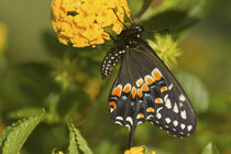 Black Swallowtail butterfly male on New Gold Lantana Marion Co by Danita Delimont
