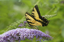 Eastern Tiger Swallowtail butterfly on Butterfly Bush Marion Co von Danita Delimont