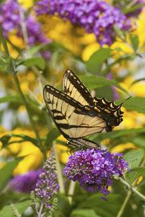 Eastern Tiger Swallowtail butterfly on Butterfly Bush Marion Co by Danita Delimont
