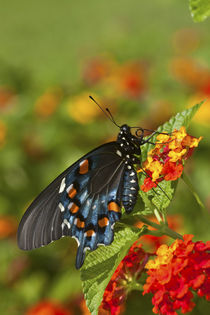 Pipevine Swallowtail Butterfly male on Red Spread Lantana Marion Co von Danita Delimont