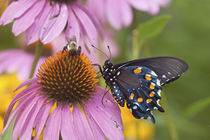Pipevine Swallowtail Butterfly male on Purple Coneflower Marion Co by Danita Delimont
