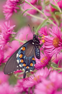 Pipevine Swallowtail on New England Aster Marion Co by Danita Delimont