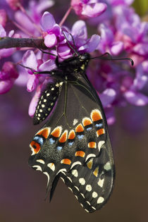 Black Swallowtail butterfly newly emerged male on Eastern Re... by Danita Delimont