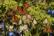 Monarch butterflies roosting in Eastern Red Cedar tree, Prai... von Danita Delimont