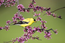 American Goldfinch male in Eastern Redbud tree Marion, Illinois, USA. von Danita Delimont