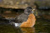 American Robin bathing, Marion, Illinois, USA. by Danita Delimont