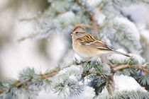 American Tree Sparrow on Blue Atlas Cedar in winter, Marion,... von Danita Delimont