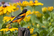 Baltimore Oriole male on post in flower garden with Black-ey... by Danita Delimont