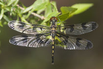 Banded Pennant female, Stephen A von Danita Delimont