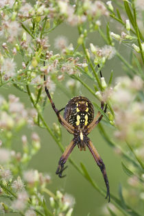 Black and Yellow Argiope spider by Danita Delimont