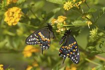 Black Swallowtail butterflies male and female on New Gold La... by Danita Delimont