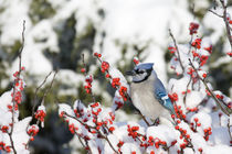 Blue Jay in Common Winterberry in winter, Marion, Illinois, USA. von Danita Delimont