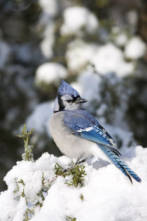 Blue Jay in Keteleeri Juniper in winter, Marion, Illinois, USA. by Danita Delimont