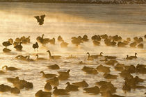 Canada Geese flock on frozen lake, Marion, Illinois, USA. von Danita Delimont
