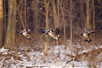 Canada Geese in flight and landing on frozen lake, Marion, I... by Danita Delimont