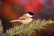 Carolina Chickadee in Blue Atlas Cedar by Danita Delimont